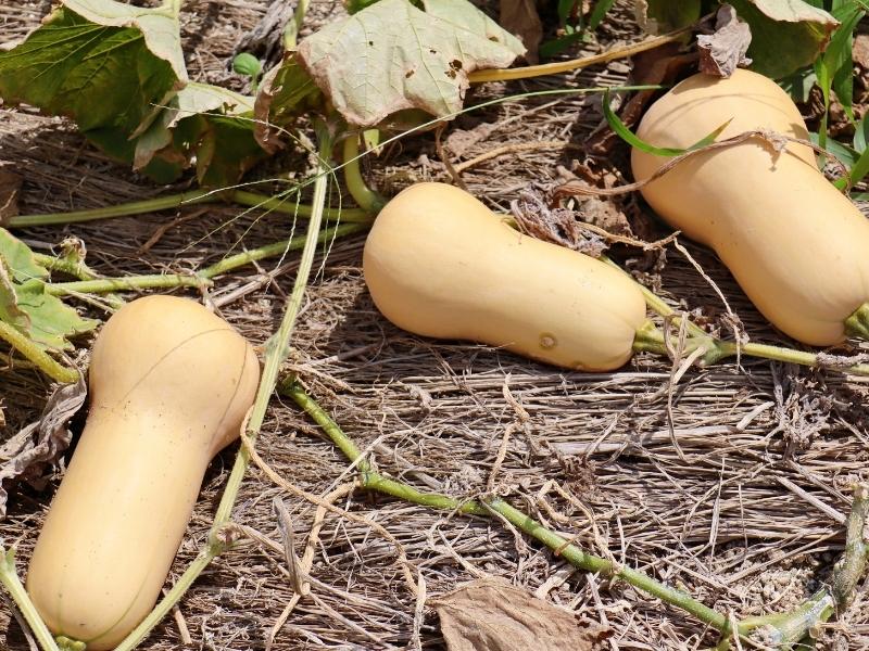 eating butternut squash after harvest