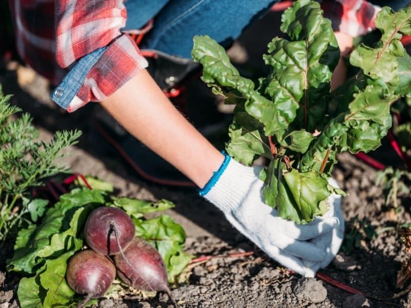 harvesting beets