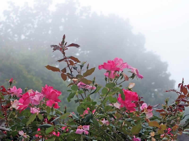 how to grow knockout roses