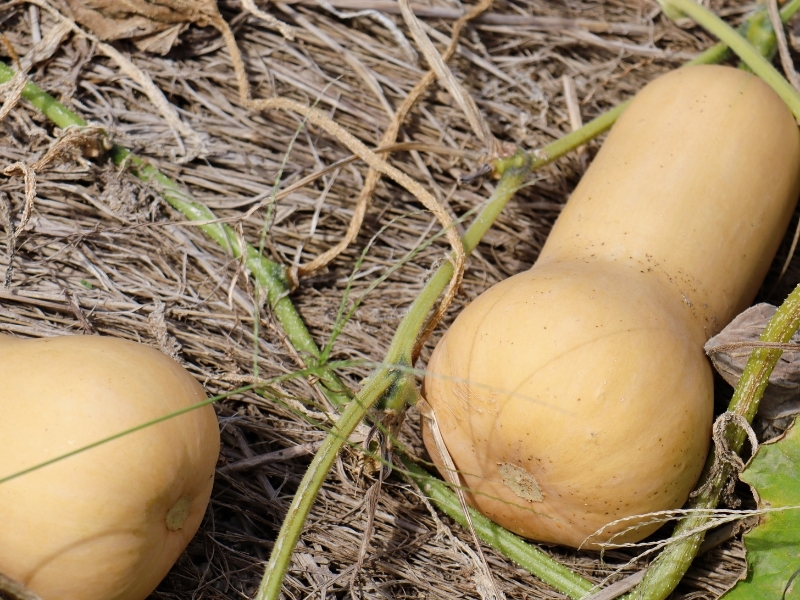 how to harvest butternut squash
