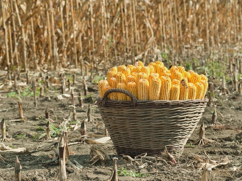 how to harvest corn
