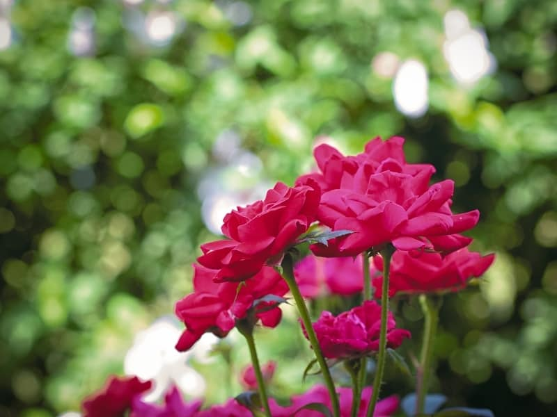 how to plant knockout roses