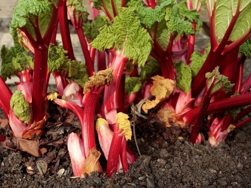 how to plant rhubarb