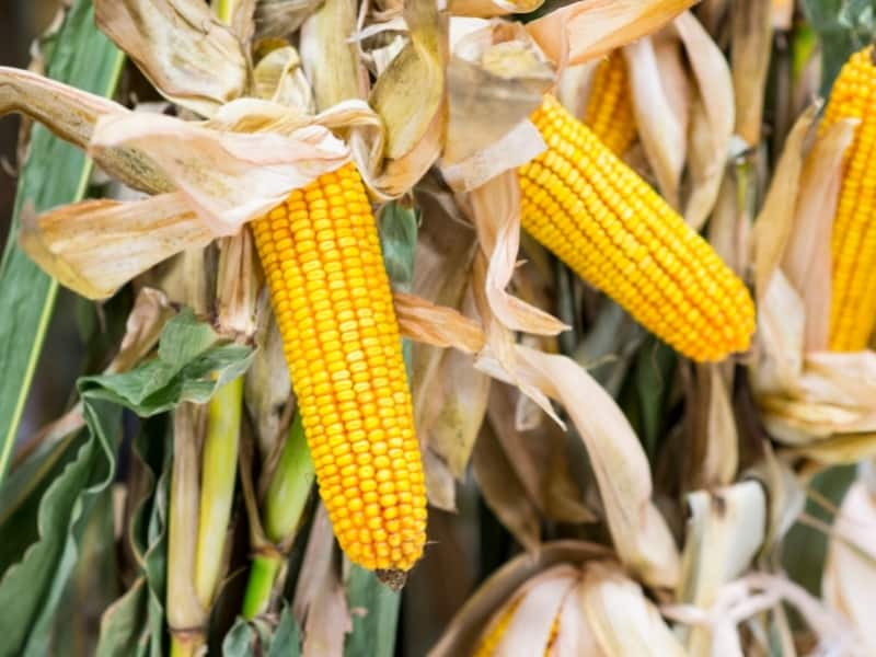 is your corn ready to harvest