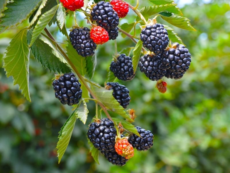 planting blackberries in different climates