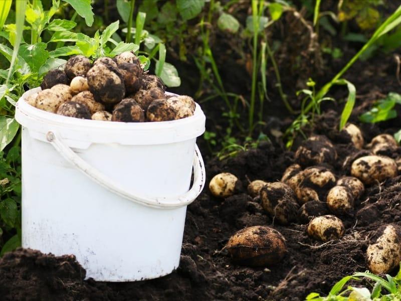 washing potatoes after harvesting