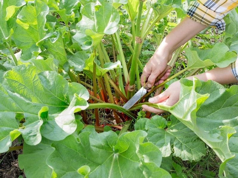 washing rhubarb after harvesting