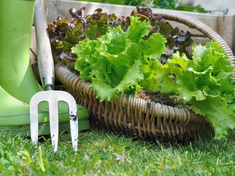 what happens if you dont harvest lettuce