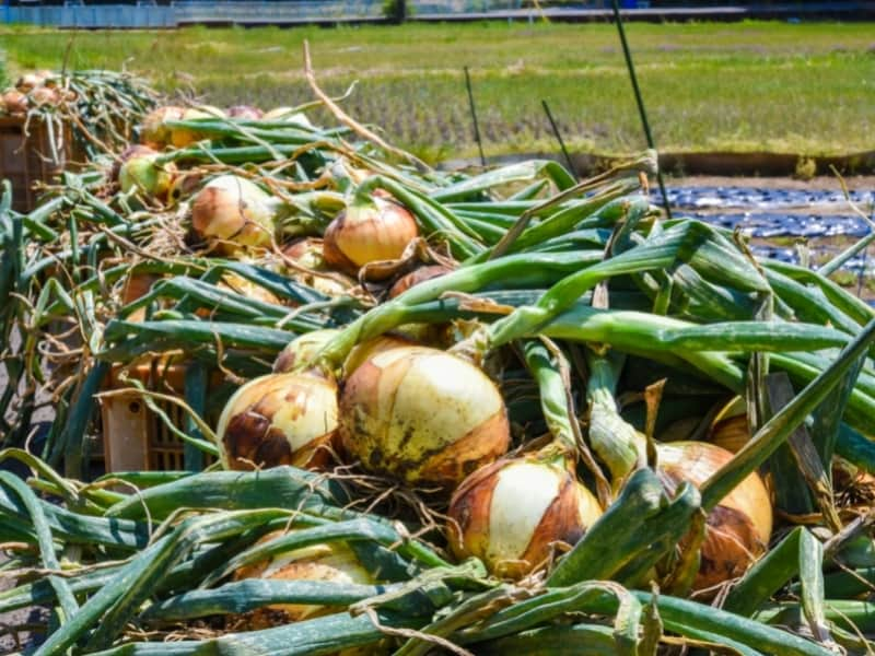 what happens if you dont harvest onions