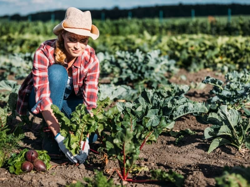 when to harvest beets