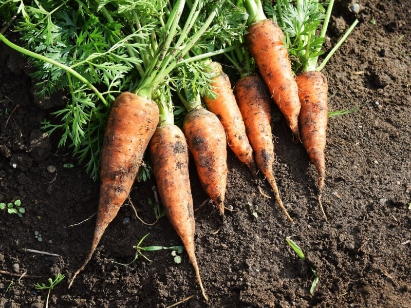 when to harvest carrots