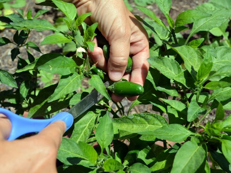 when to harvest jalapeno