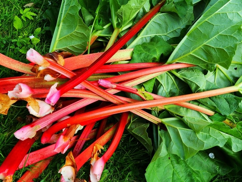 when to harvest rhubarb