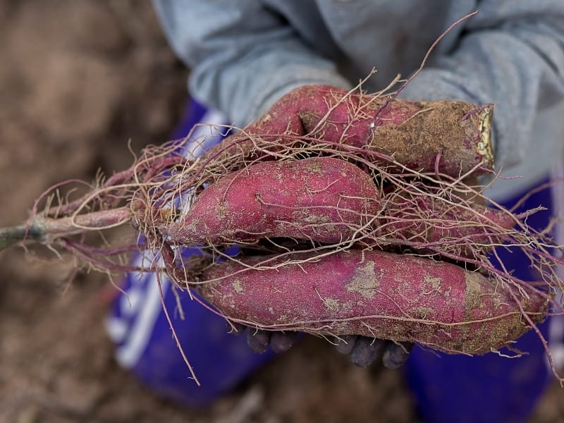 when to harvest sweet potatoes