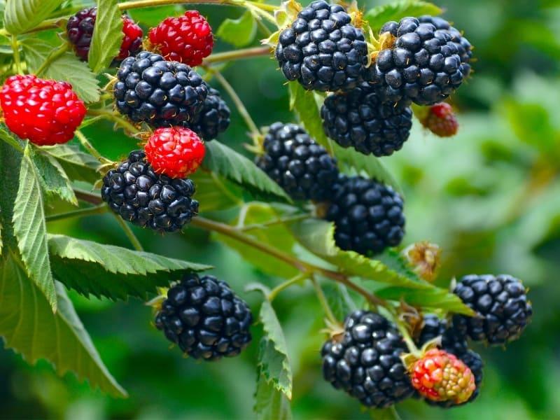 when to plant blackberries