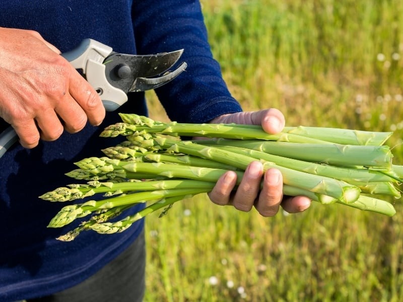 how to harvest asparagus