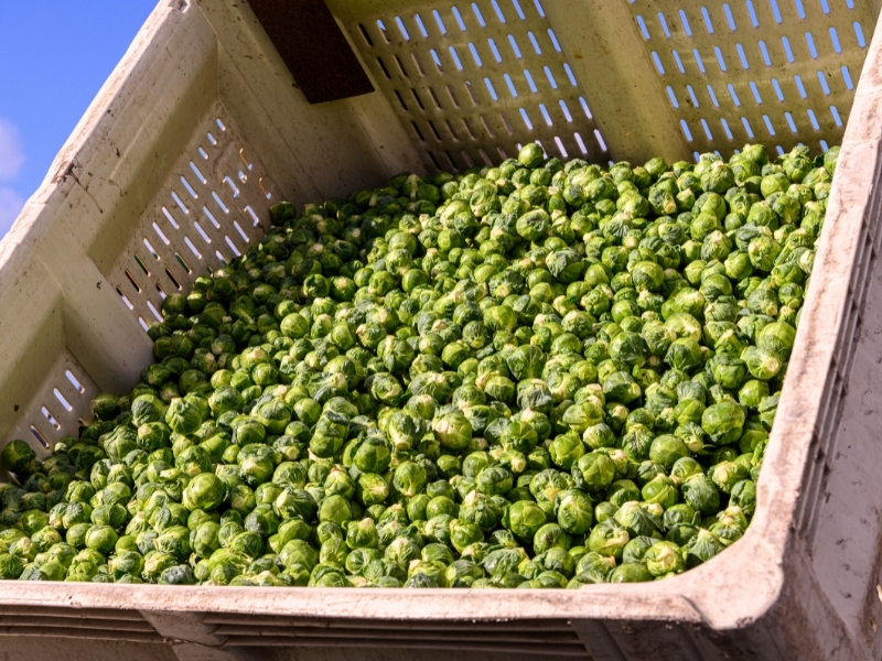 how to harvest brussel sprouts