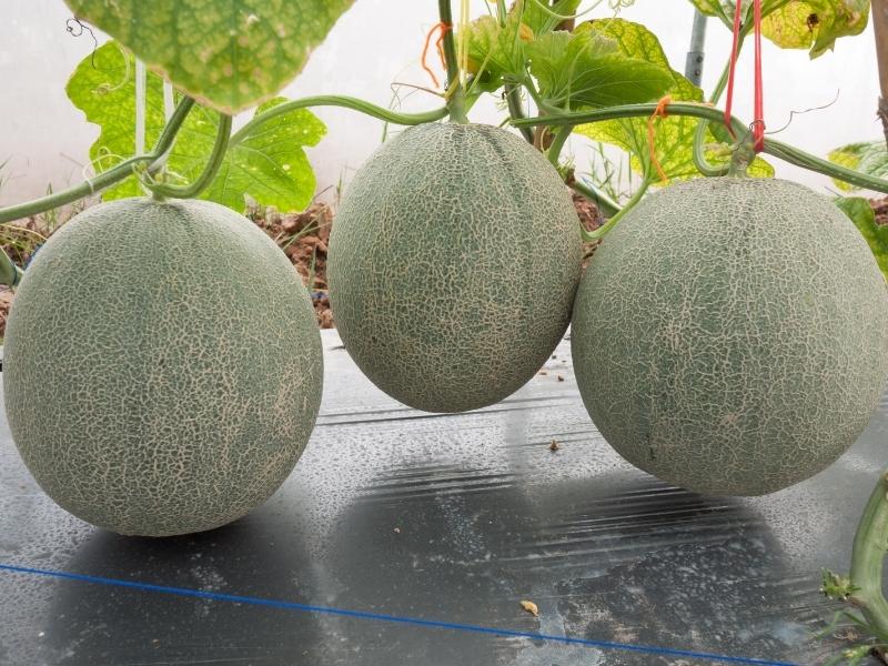how to harvest cantaloupe