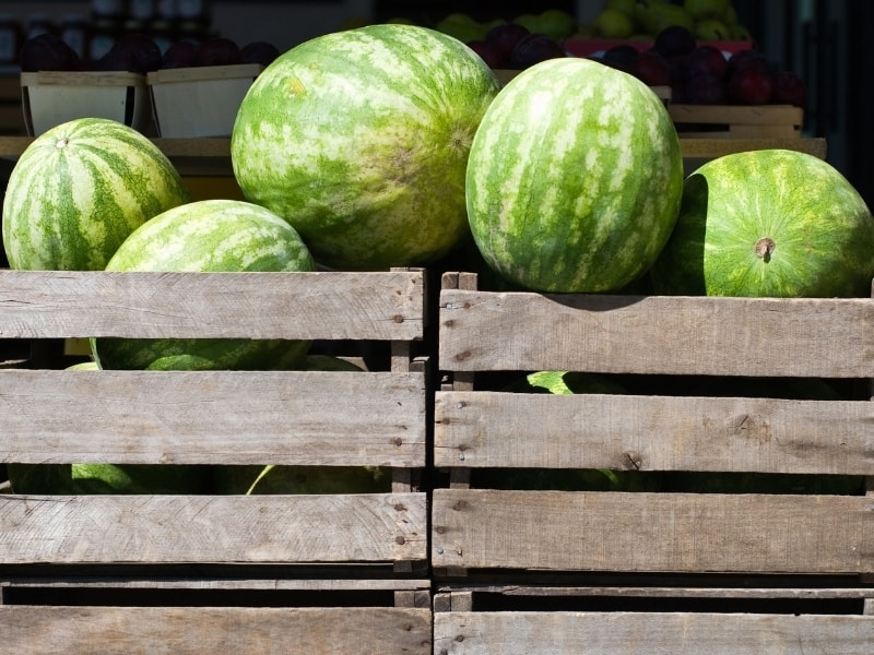 how to harvest watermelons