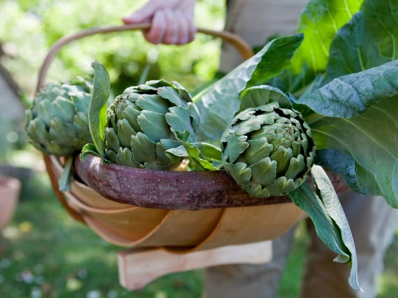 knowing when to harvest artichokes