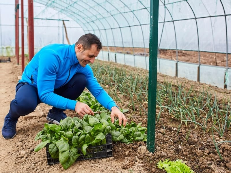 knowing when to harvest spinach