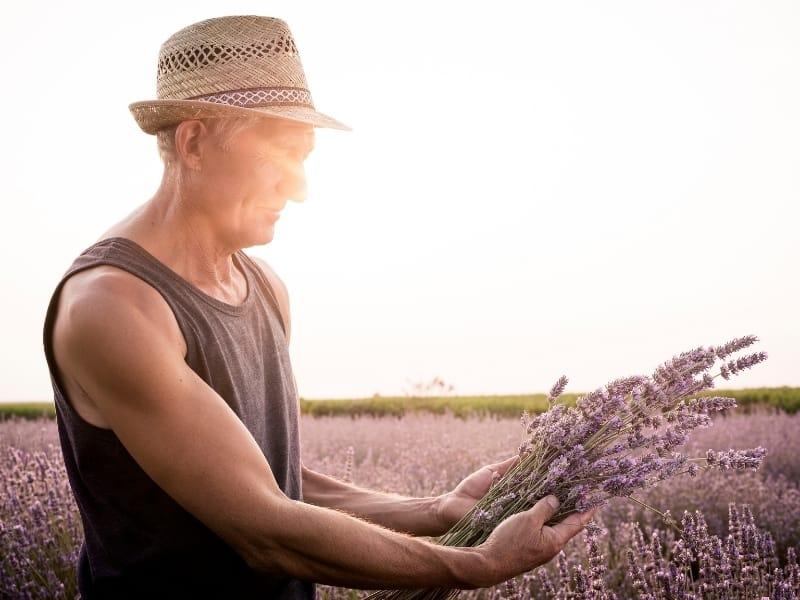 reasons for harvesting lavender