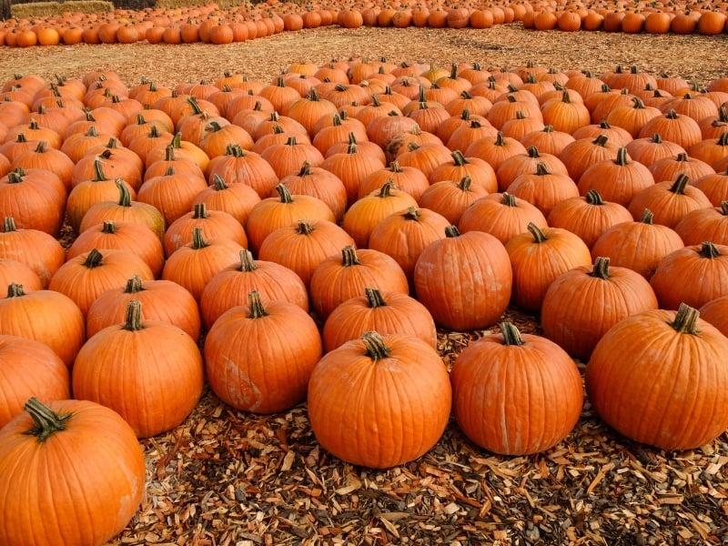what happens if you don't harvest pumpkins