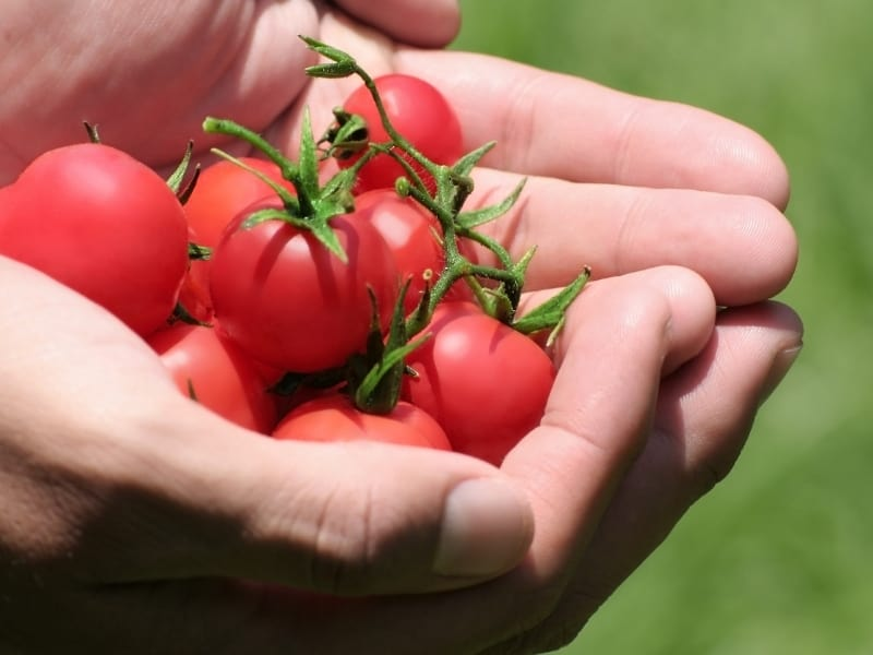 what happens if you dont harvest tomatoes