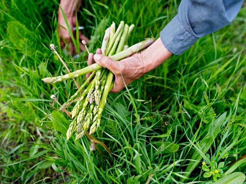 when to harvest asparagus