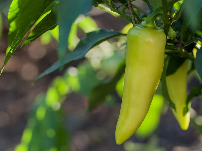 when to harvest banana peppers