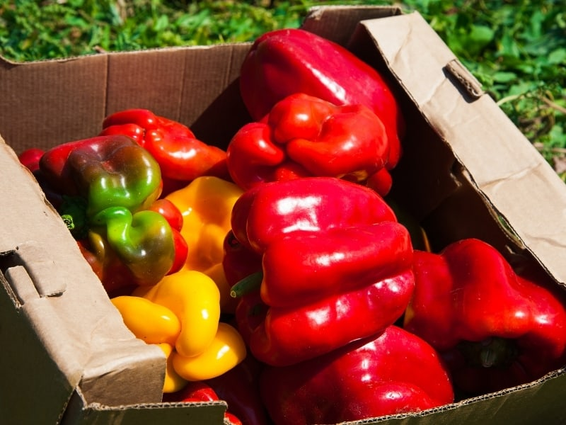 when to harvest bell peppers