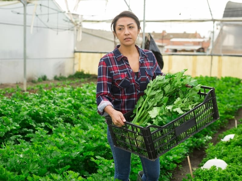 when to harvest celery