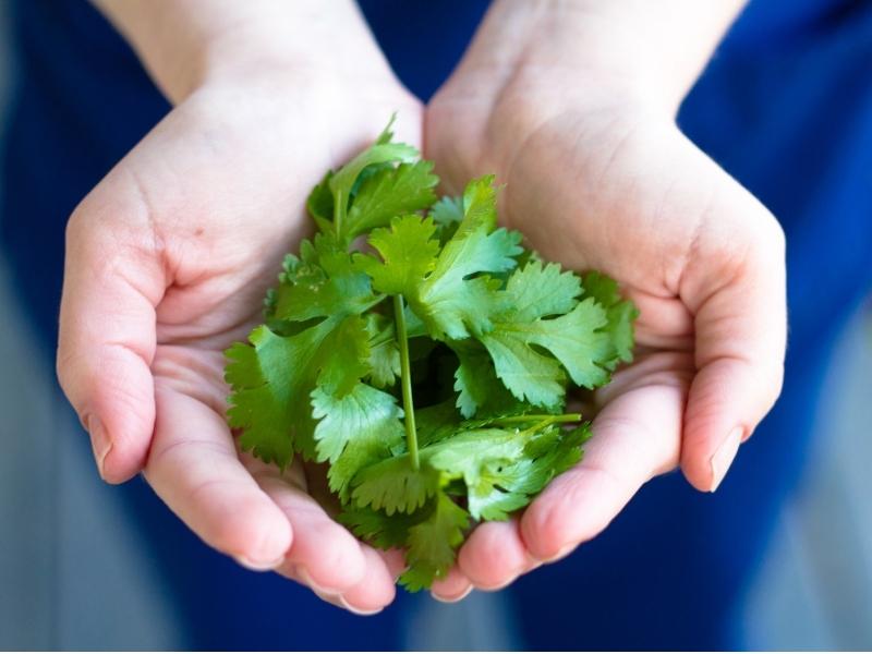 when to harvest cilantro