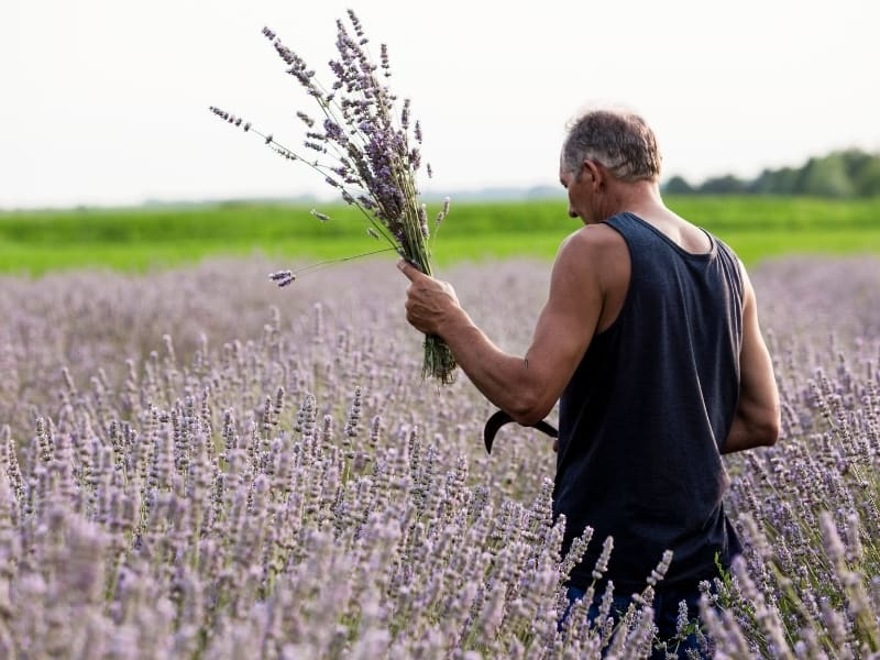 when to harvest lavender