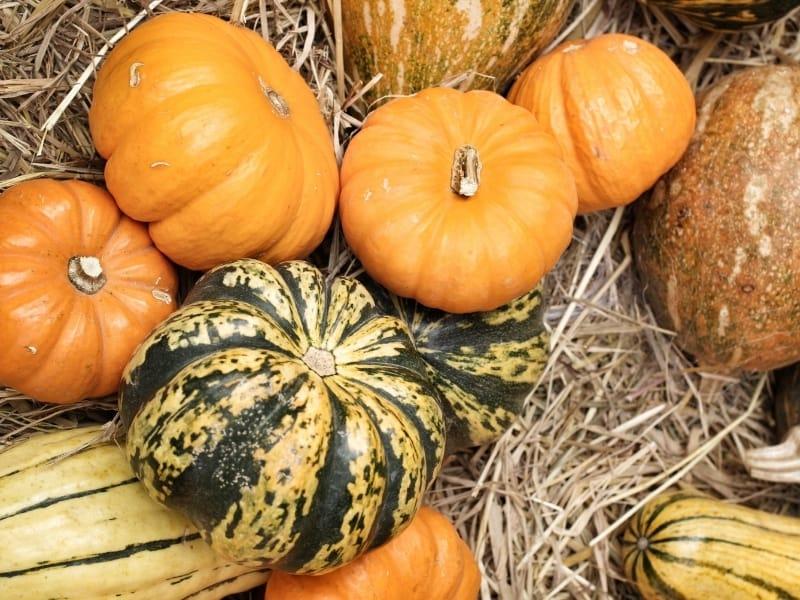 when to harvest pumpkins