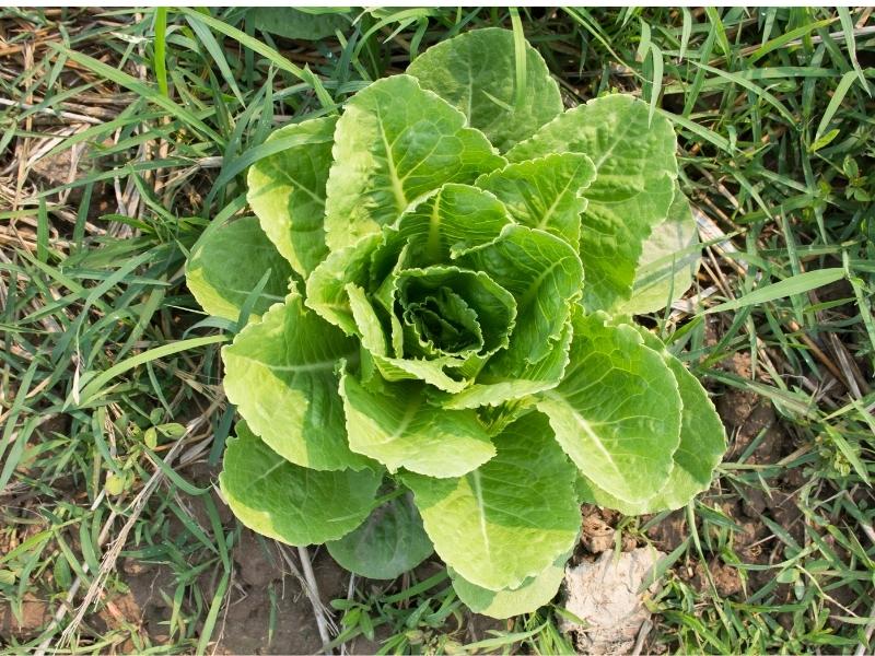 when to harvest romaine lettuce