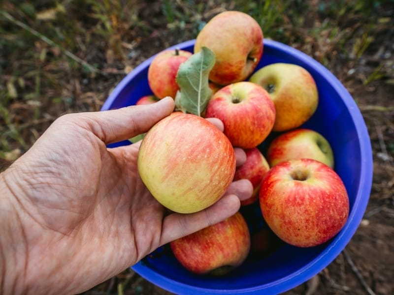how to harvest apples