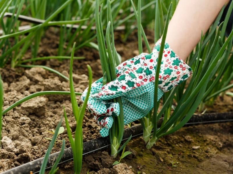 how to harvest green onions