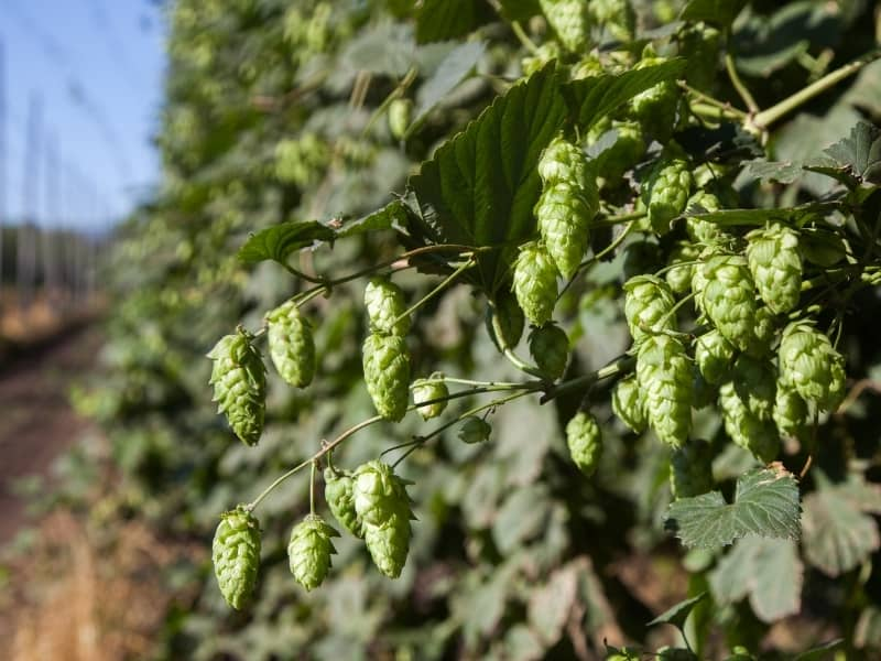 how to harvest hops