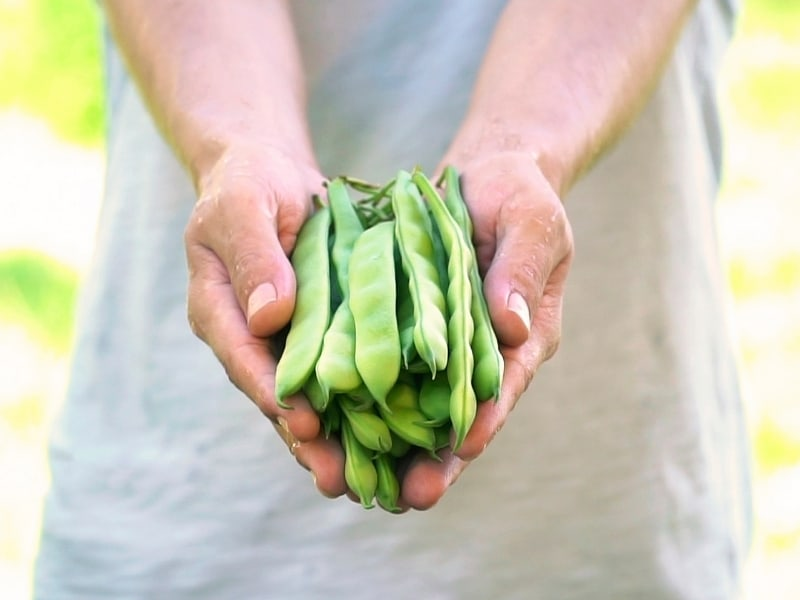 how to harvest peas