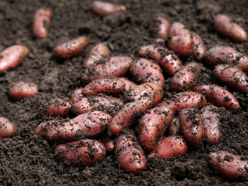 how to harvest red potatoes