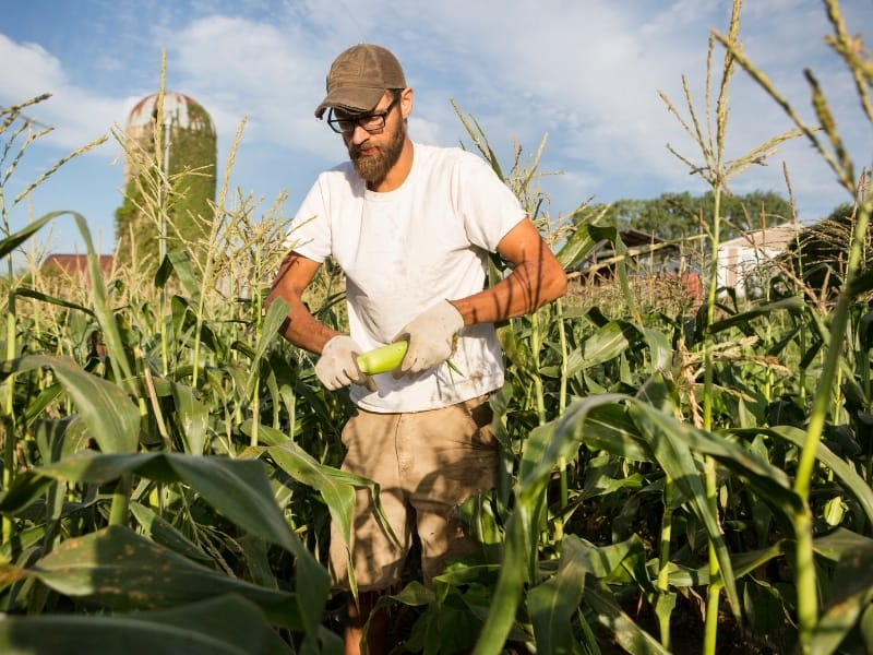 how to harvest sweet corn