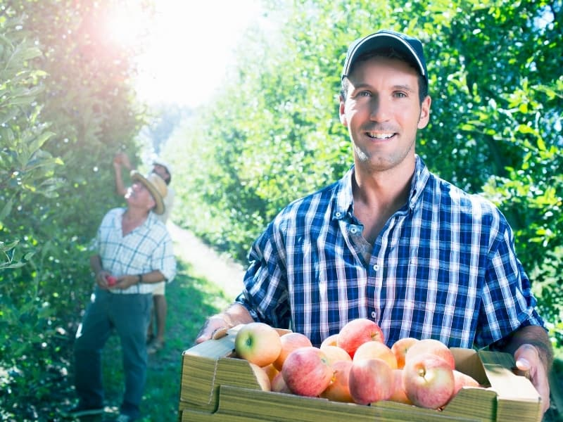 when to harvest apples
