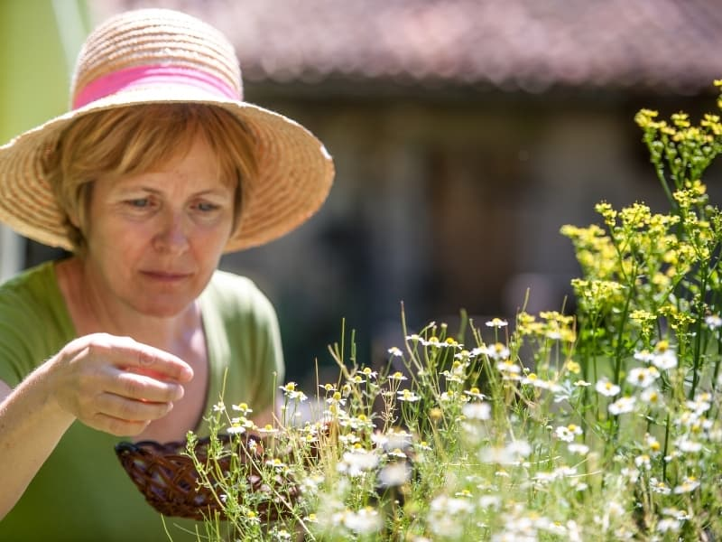 when to harvest chamomile