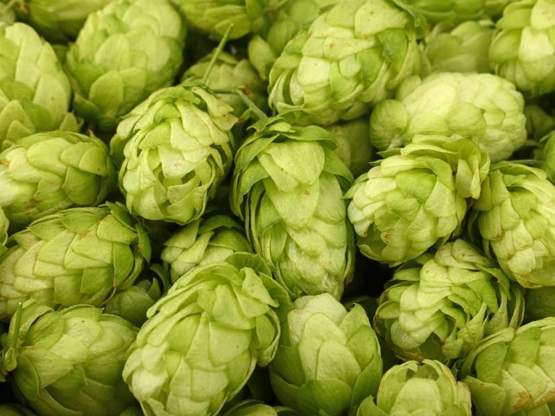 when to harvest hops
