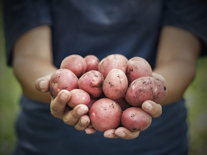 when to harvest red potatoes