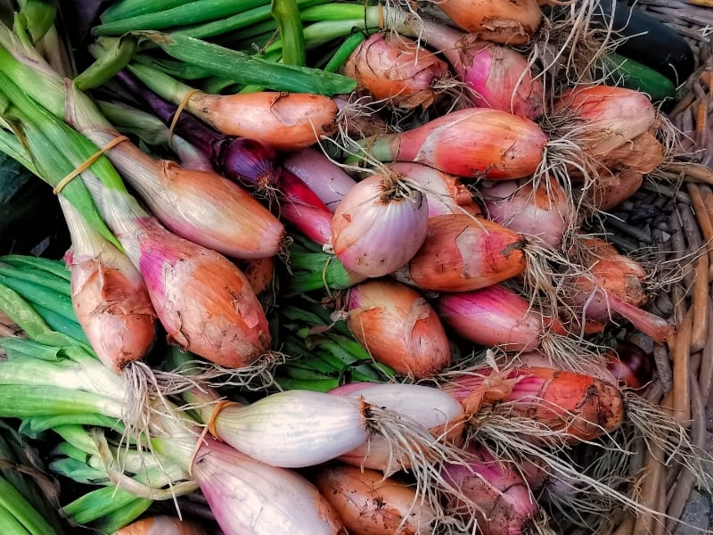 when to harvest shallots