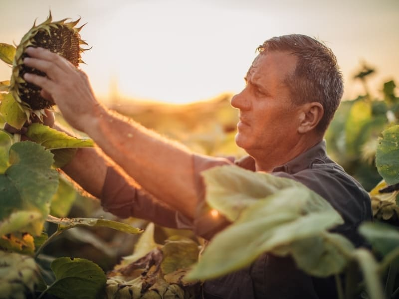 when to harvest sunflowers
