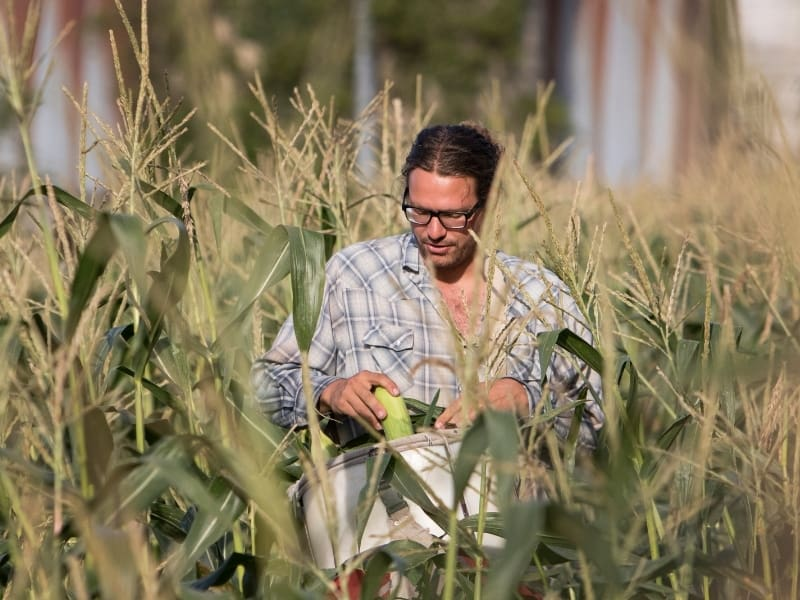 when to harvest sweet corn