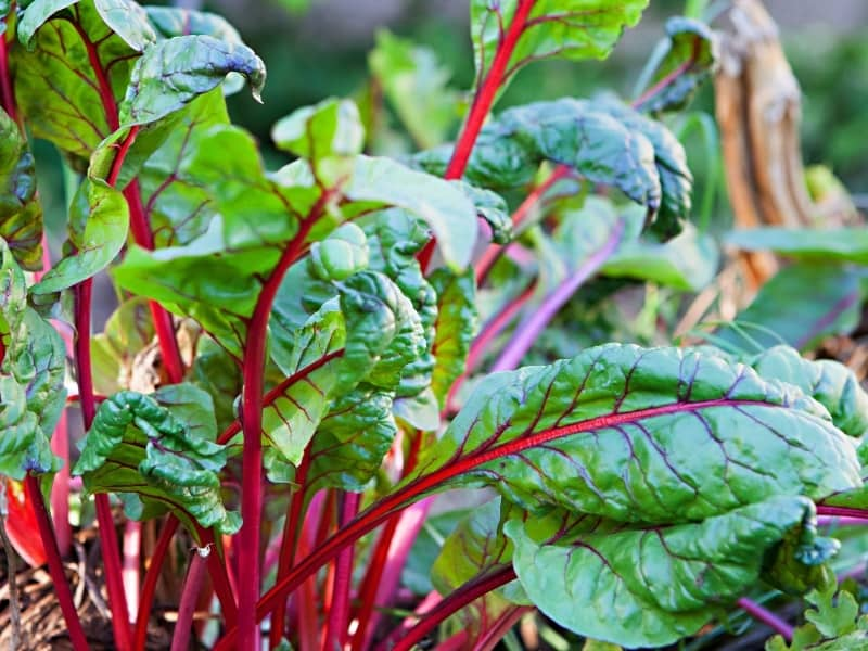 when to harvest swiss chard